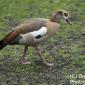 Egyptian goose  St james Park london march 2018