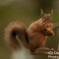 red squirrel @ whinfell, penrith, jan 2018
